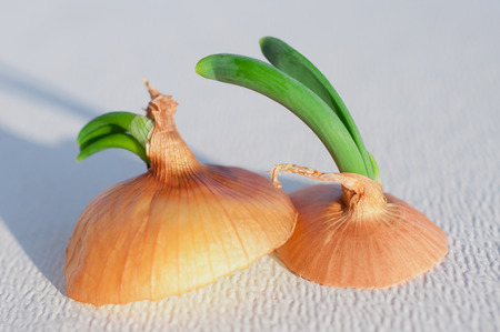 Top of sprouting onion, with skin still on, sliced about an inch thick, sitting on a white background with sun casting shadow in background.  room for copy space