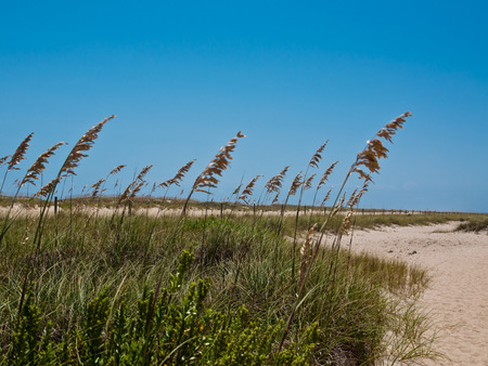 Sea Oats along a sandy path.  bright blue sky with room for copyspace