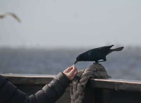 Black Raven on sitting on a rope tied to a boat eating bread crumbs out of a woman's hand Stock Photo