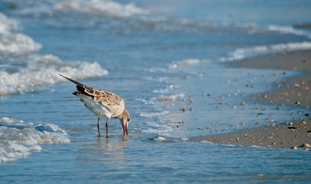 Sandpiper bird eating something in the sand while wading in the surf.  copy space available