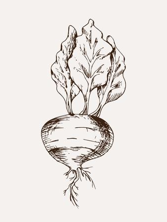 sketched beetroot vector illustration