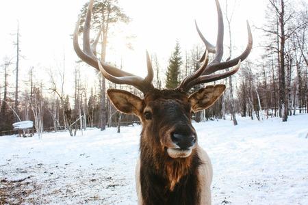 red deer: Adult red deer eats hay in winter forest