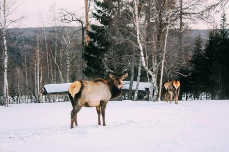 red deer: Adult red deer in winter ural forest Stock Photo