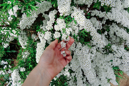 Flowering plants with small white flowers stock photo picture and flowering plants with small white flowers stock photo 59929545 mightylinksfo