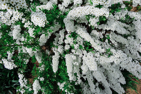 flowering plants: Flowering plants with small white flowers