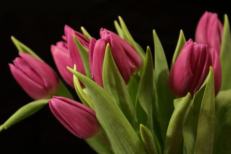Magenta tulips Stock Photo - 417296