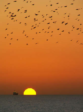 flocking: Ocean sunset with starlings