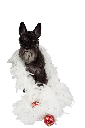 Black dog (Miniature Schnauzer) in feather boa with Christmas decoration. Isolated on white background. Stock Photo