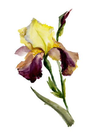 Beautiful purple and yellow iris (flower and bud) on white background. Watercolor painting. Hand painted. Can be used for greeting cards, cloth printing, fabric. Stock Photo