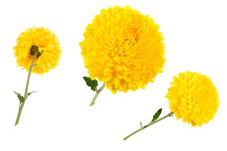 Set van drie gele chrysanten geïsoleerd op witte bachground op verschillende hoeken, inclusief achteraanzicht. Groot bloemhoofd op een groene stengel.