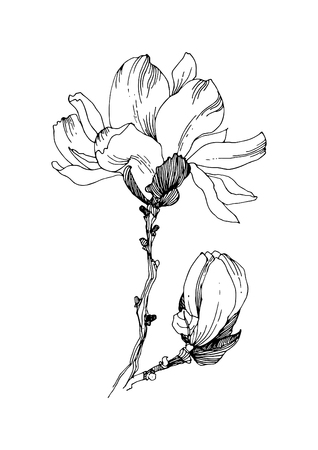 Flowered  magnolia (open flower and bud). Vector illustration.