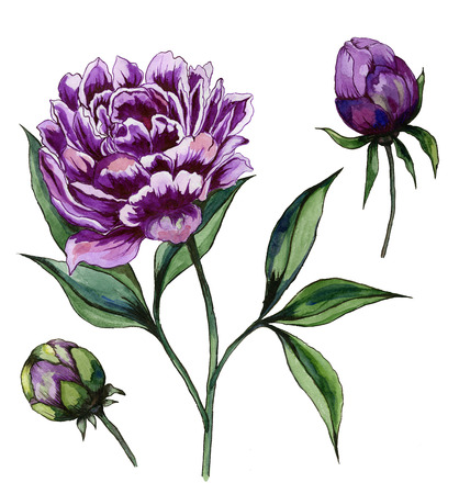 Beautiful purple peony flower on a stem with green leaves. Set - flower and two buds isolated on white background. Watercolor painting. Hand drawn and painted floral illustration.