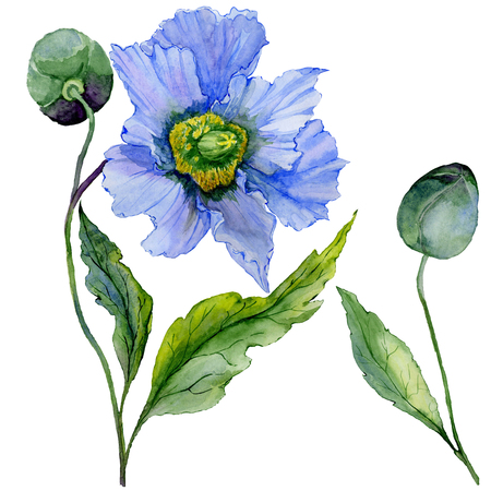 Beautiful blue poppy flower with green leaves. Set - large meconopsis flower and stem with a bud isolated on white background. Detailed and realistic. Watercolor painting. Hand painted illustration.