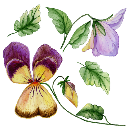 Beautiful botanic set (purple and yellow viola flowers, bud and leaves). Colorful violet flower and green leaves isolated on white background. Watercolor painting. Hand painted floral illustration.  Stock Photo