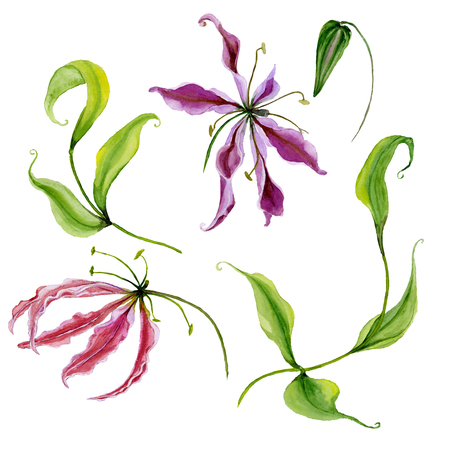 Beautiful purple and piink gloriosa flower (flame lily) on a stem. Floral set (flowers, leaves on climbing twig, bud). Isolated on white background. Watercolor painting. Hand painted illustration.