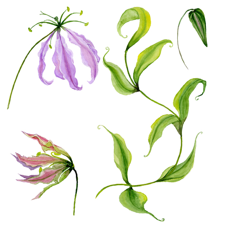 Beautiful purple gloriosa flower (flame lily) on a stem. Floral set (flowers, leaves on climbing twig, bud). Isolated on white background. Watercolor painting. Hand painted botanical illustration.