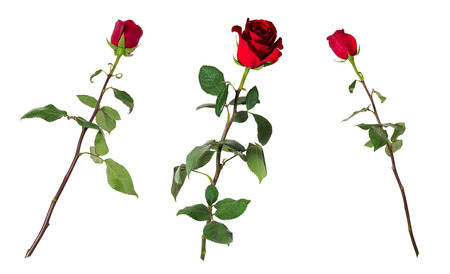 Set of three beautiful vivid red roses on long stems with green leaves isolated on white background. Flowers are shot at different angles, includung side and back view.  Archivio Fotografico