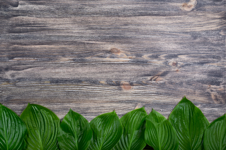 Dark old wooden background with beautiful fresh hosta leaves arranged in a row. Vintage mockup. Top view. Flat lay. Border design.
