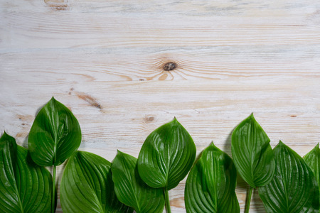 White old wooden background with beautiful fresh hosta leaves. Vintage mockup. Top view. Flat lay. Border design. Stock Photo