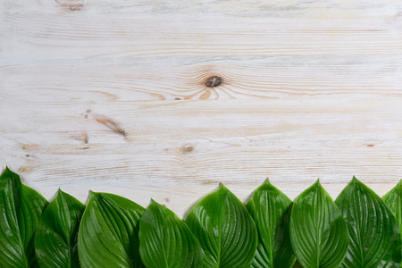 White old wooden background with beautiful fresh hosta leaves arranged in a row. Vintage mockup. Top view. Flat lay. Border design.