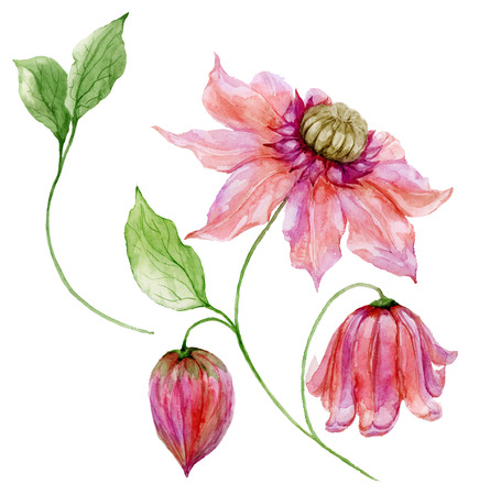 Beautiful pink clematis on a stem. Floral set (flower, leaves on climbing twig, boll). Isolated on white background. Watercolor painting. Hand painted botanical illustration. Stock Photo