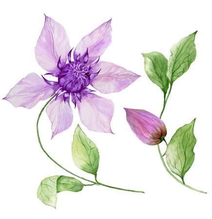 Beautiful purple clematis on a stem. Floral set (flower, leaves on climbing twig, boll). Isolated on white background. Watercolor painting. Hand painted botanical illustration.