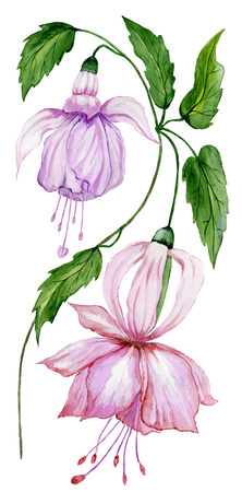 Beautiful pink and purple fuchsia flower on a twig with green leaves. Isolated on white background. Watercolor painting. Hand painted floral illustration.