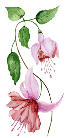 Beautiful fuchsia flower on a twig with green leaves. Isolated on white background. Watercolor painting. Hand painted floral illustration.