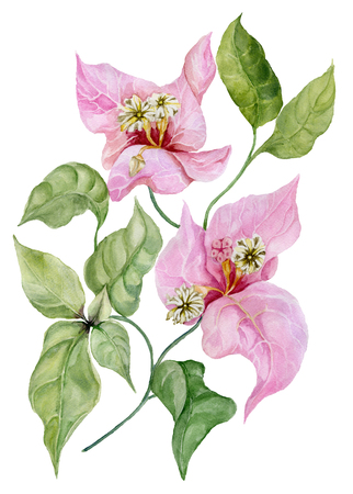 Beautiful bougainvillea flowers on a twig with green leaves. Isolated on white background. Watercolor painting. Hand painted floral illustration.