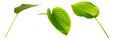 Hosta (plantain lily) leaves isolated on white background. Set of images. Beautiful green foliage. One leaf shot at different angles. Side and front view.