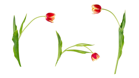 Set of three beautiful vivid red and yellow tulips on stems with green leaves isolated on white background. Side view. Studio photo shoot. Archivio Fotografico