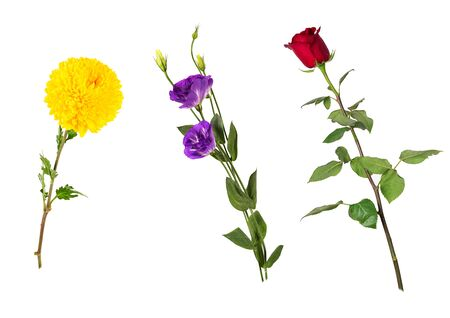 Beautiful floral set (vivid red rose, bright yellow chrysanthemum, purple eustoma on stems with green leaves). Flowers isolated on white background. Side view. Studio photo shoot.