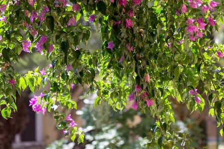 Beautiful floral background. Long bougainvillea twigs with vivid pink flowers and green leaves. Sunny summer day.