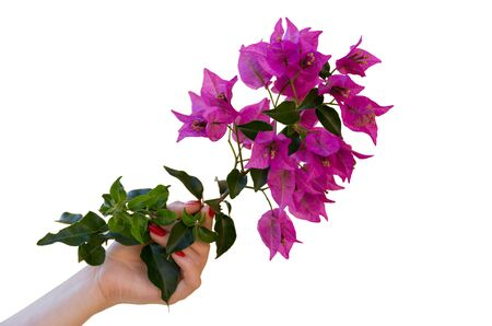 Young woman's hand holding beautiful bougainvillea twig with pink flowers and green leaves. Isolated on white background. Close up photo.