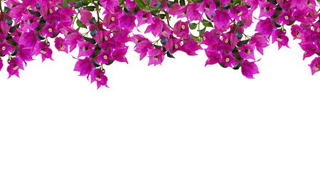 Seamless floral frame, mockup. Beautiful flowering bougainvillia tree twigs with bright pink flowers isolated on white background. Space for your text. 스톡 콘텐츠
