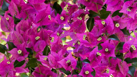 Beautiful floral background. Bright bougainvillea flowers on a twigs with green leaves. Close up photo. Ratio 16:9. 스톡 콘텐츠