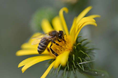 Bee on a yellow flower, close up, spiky flower, bee pollinating a plant