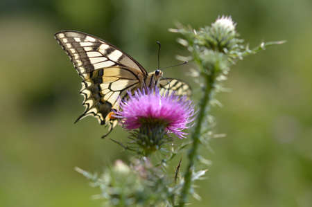 Old World swallowtail butterfly on a Spear Thistle flower close up, macro. Yellow big butterfly with black wine markings, on a purple spiky wildflower. Natural green background, in the wild.