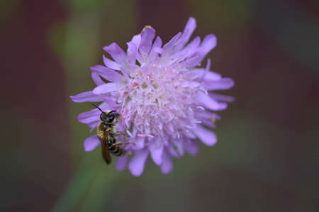 Purple pincushion flower and the bee, bee on a purple wildflower in nature macro close up, working bee.