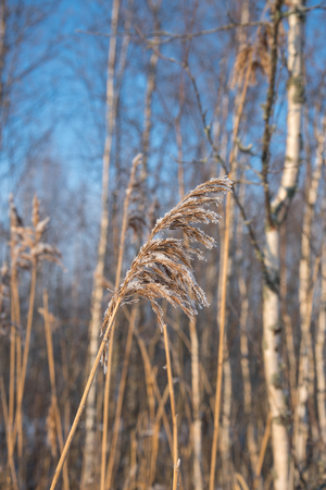 Frozen reed, sunny winter day Stock Photo