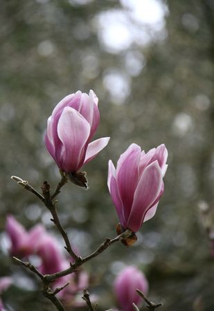 Spring in Lisbon - blossoms of pink magnolia photo