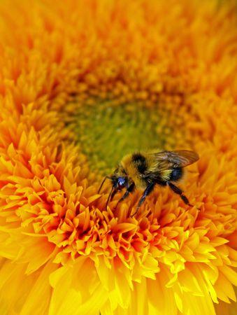 bee on yellow sunflower photo