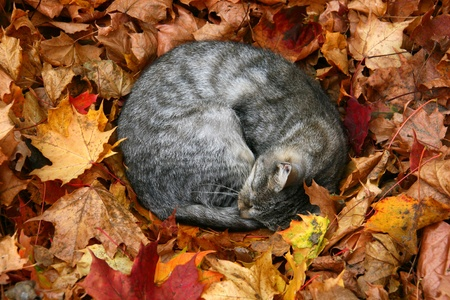 cat sleeping in bright autumn leaves in Druskininkai, resort in Lithuania photo