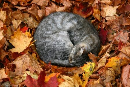 cat sleeping in bright autumn leaves in Druskininkai, resort in Lithuania photo