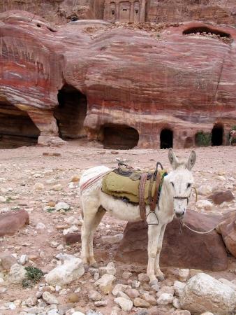nabatean: Donkey in Petra, Jordan near old nabatean tombs