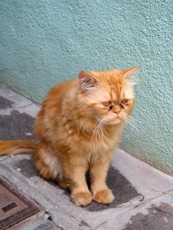 solter�a: Gato persa muy triste en calle peque�a en Burono isla, Venecia Foto de archivo