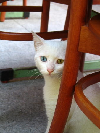 Sad odd-eyed cat sitting under chair in Istanbul