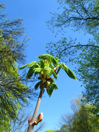 Fresh chestnut leaves in the bright spring sky photo