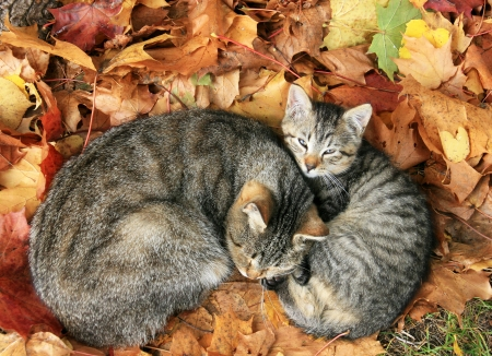 cat with baby cat sleeping in bright autumn leaves in Druskininkai, resort in Lithuania  photo