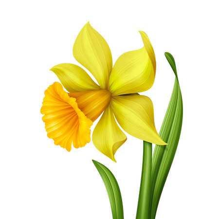 yellow spring daffodil flower graphic illustration isolated on white background